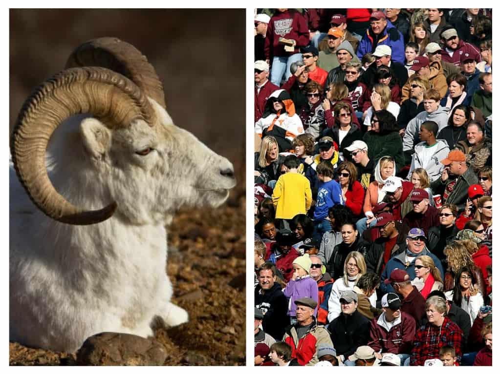 Sheep Counting Humans